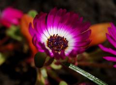 ice flower (Hindrik S) Tags: pink plant flower color green ice nature garden colorful pears sony violet natuur paars bloem ijs kleur iceflower a300 ijsbloem sonyalpha ijsbloempje flickraward α300 alpha300 sonyphotographing iisblom iisblomke