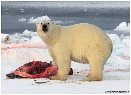 Staring IceBear