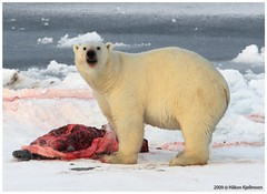 Staring IceBear (Hkon Kjllmoen, Norway) Tags: red sea white snow ice wet beautiful animal fauna dinner fur dead coast big dangerous blood eyes kill teeth svalbard norwegian seal showroom eatme winner hungry polar ayr creature knut bjorn icebear ursus bigbear maritimus highquality isbjrn pels bigwinner coth beautifulshot theworldthroughmyeyes bearsoftheworld specanimal natureplus abigfave agradephoto specialshot flickrdiamond naturestyle dragongoldaward thebestshot fotocompetition fotocompetitionbronze universeofnature coth5 superphotographergroup mygearandme mygearandmepremium mygearandmebronze mygearandmesilver mygearandmegold diamondnaturestyle diamondbluenaturestyle mygearandmeplatinum mygearandmediamond hkonkjllmoen wwwkjollmoencom eatingicebear peregrino27life polarbeareatingseal
