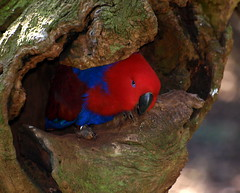 Parrot Reaching Out (angeliou56) Tags: blue red tree bird log parrot stump hideing peakaboo
