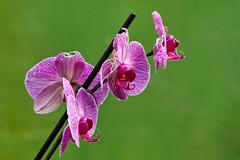 Flowers - Flores (Azdoe.) Tags: flores flower macro colors canon dof bokeh flor colores 7d santander orquideas cantabria santillanadelmar