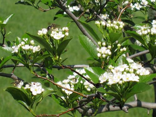 Hawthorne tree blooms