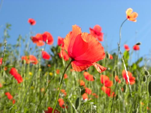 [フリー画像] 花・植物, ケシ科, ヒナゲシ, 201006020700