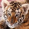 baby tiger (Shandi-lee) Tags: ranch orange baby white black animal cat fur mammal zoo cub eyes stripes tiger whiskers northwood tigercub babyanimal animalportrait babytiger animalcloseup northwoodranch seagraveon