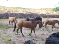 P1010823 (geri40) Tags: caballos el peral puesto criollos