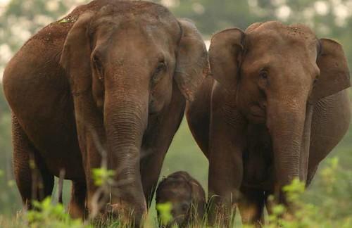 Elephas maximus (Ajay Desai)
