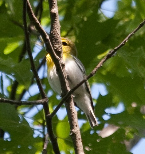 Yellow-throat