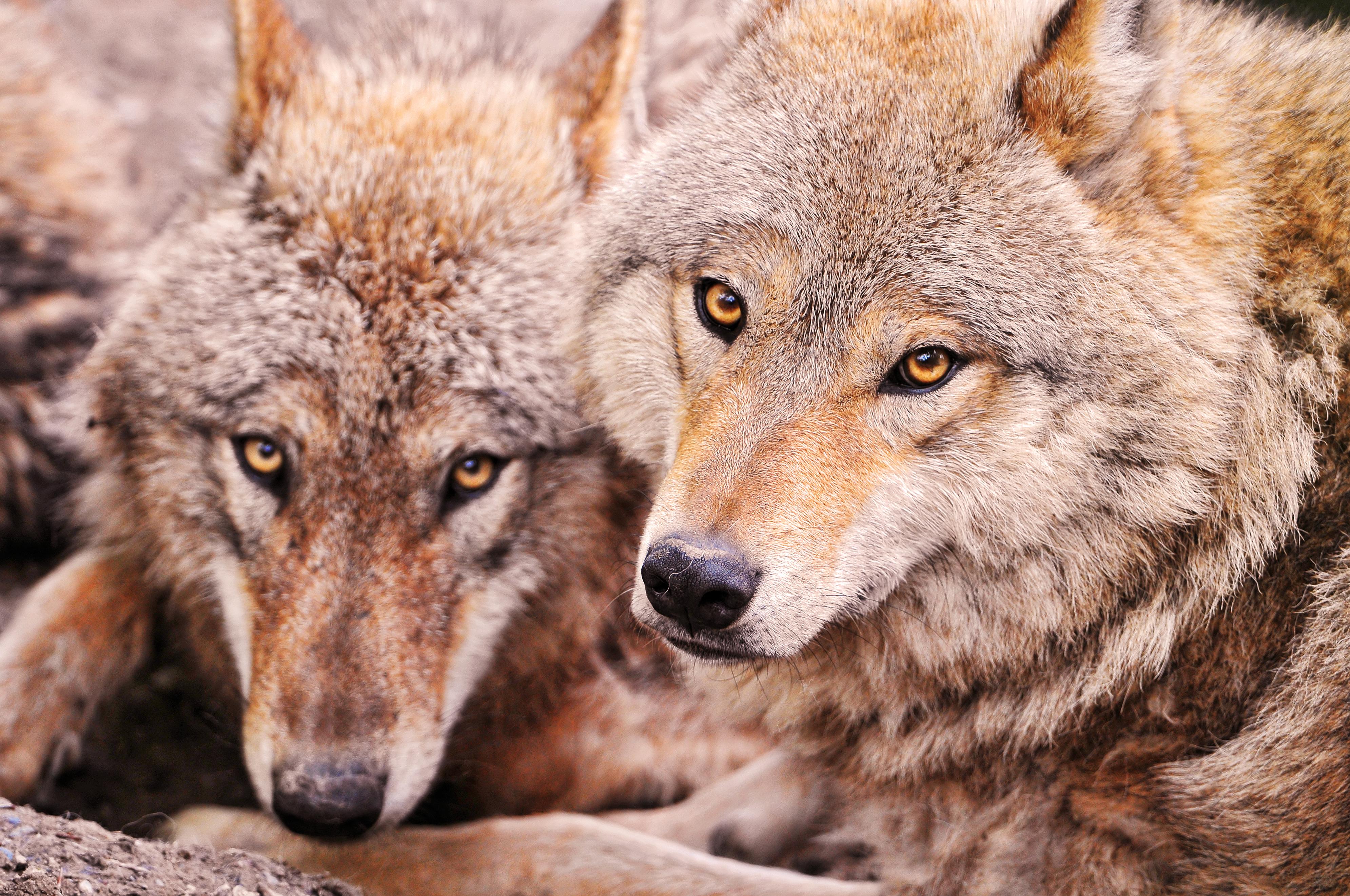 寄り添う二匹の狼