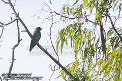Dollarbird - Eurystomus orientalis (puffinbytes) Tags: birds animals australia aves qld queensland cairns animalia dollarbird eurystomusorientalis chordates chordata coraciidae coraciiformes mountmolloy eurystomus taxonomy:class=aves taxonomy:kingdom=animalia taxonomy:phylum=chordata taxonomy:order=coraciiformes taxonomy:genus=eurystomus taxonomy:common=dollarbird taxonomy:binomial=eurystomusorientalis taxonomy:species=orientalis taxonomy:family=coraciidae kingfishersandallies spb:country=au spb:pty=w spb:lid=0047 spb:id=00ca spb:species=eurystomusorientalis typicalrollers spb:pid=01km