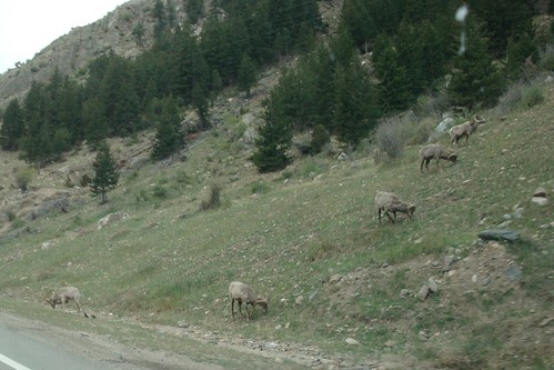 Bighorn Sheep at Georgetown CO