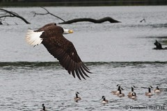 Bald Eagle (birdmandea) Tags: eagle bal