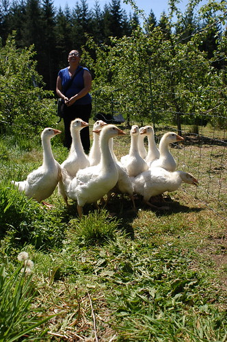 geese at Dog Mountain Farm
