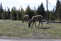 Elk Near Grant Village