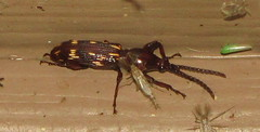 Oak Timberworm (and friends) (David Trently) Tags: tn beetle knoxcounty arrhenodes arrhenodesminutus otherinsects