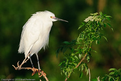 Snowy Egret (Brad Pedersen) Tags: usa birds animals orlando florida waders snowyegret egrets