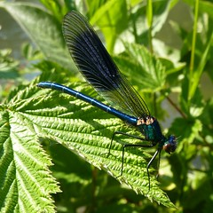 Calopteryx splendens (m) - Banded Demoiselle (Dluogs) Tags: insects hampshire demoiselle winchester britishwildlife damselflies banded calopteryx odonata itchen zygoptera watermeadows splendens bandedagrion specinsect dluogs