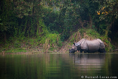 Indian One-horned Rhinoceros (Burrard-Lucas Wildlife Photography) Tags: nepal rhino rhinoceros chitwan chitwannationalpark greatonehornedrhinoceros onehorned indianonehornedrhinoceros viaflickrqcom
