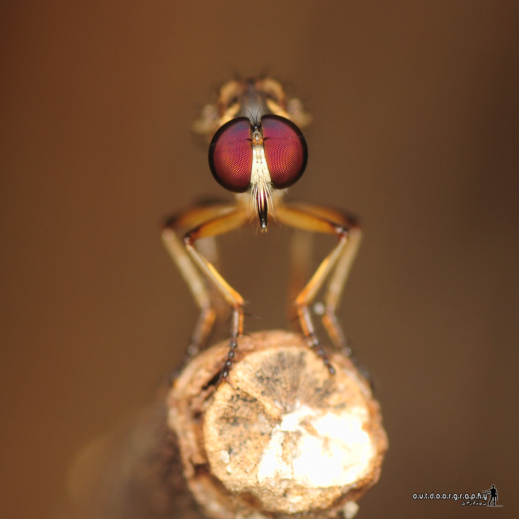 Face to Face | Robberfly (by Sir Mart Outdoorgraphy™)