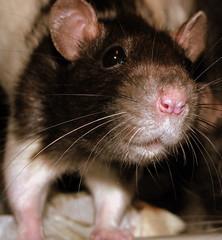 IMG_9172 (Nobinx) Tags: animal rat picasa pips