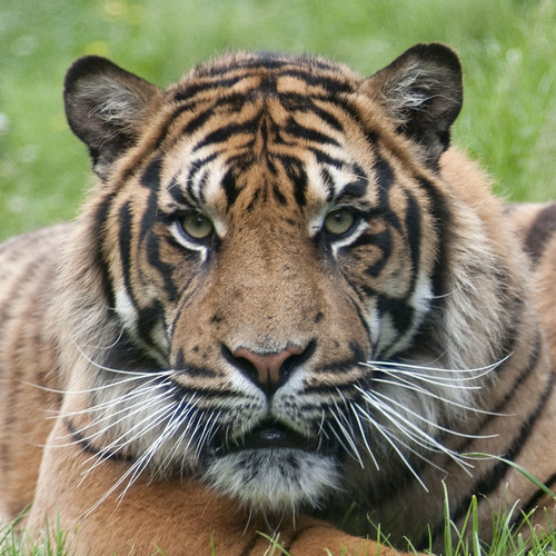 Baby tigers face - photo#22