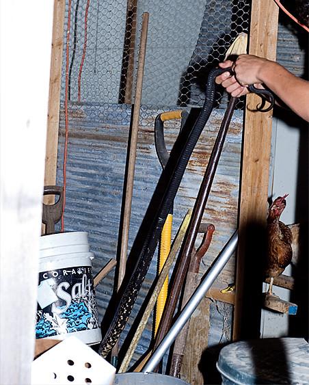 black snake in coop 2