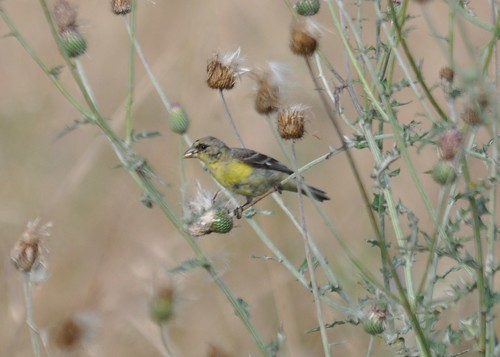 lesser goldfinch?