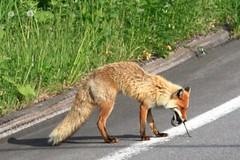 北國食物鏈之狐狸吃蛇