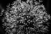 Nature's Fireworks (Sally E J Hunter) Tags: toronto blackwhite noiretblanc allium wildonion moo1 55200mmf456 conbw topwqq