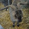 """BSG - """"Billy Goats Gruff"""""""