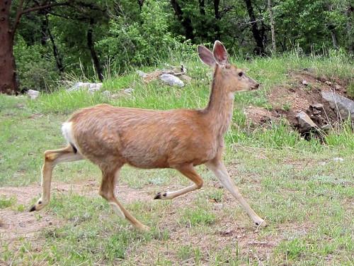 Deer Running 20100614