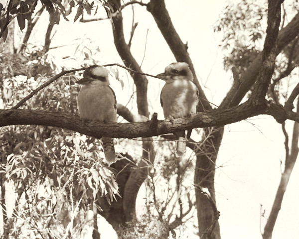 Two Kookaburras FINAL