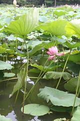Lotus Flower (kare_chin) Tags: flower pond lotus taiwan taipei botanicalgarden lotusflower
