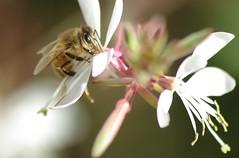 Breakfast time! (Eye_of_my_pentax IS BACK) Tags: flower macro floral closeup flora bee stamen pollen pentaxk200d