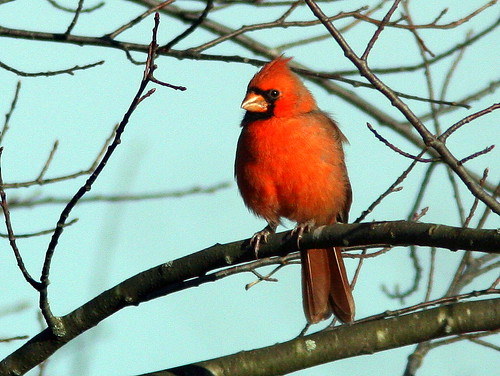 Northern Cardinal 20101029