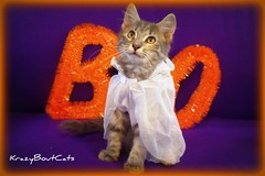 """I'm """"Cat""""Sper The Friendly Ghost.. Will You Be My Friend?! (KrazyBoutCats) Tags: cats pets halloween kittens felines friendsofzeusphoebe afhht"""