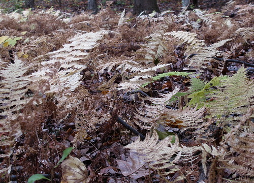 ferns autumn