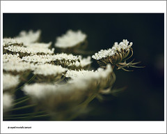 Poetic (seyed mostafa zamani) Tags: life flowers white abstract color macro cute art love beautiful look fun dance god watch tranquility poetic together silence concept poems conceptual      crave     expectancy                 kereshme