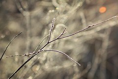 fragile (RoYaLHigHnEsS1) Tags: autumn plant grass frost rime hoar