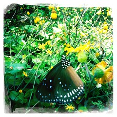 Butterfly! But don't know which breed..... (Hoi Kit Chung) Tags: flowers trees apple nature birds butterfly john hongkong s dali wwf egrets maipo iphone dreamcanvas hipstamatic goodpak