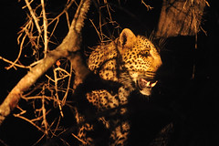 Frightened Leopard at Night - Sabi Sands, Greater Kruger, South Africa (Ami 211) Tags: southafrica leopard bigcat panthera nightsafari felidae pantherapardus sabisands pantherinae greaterkruger