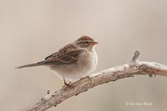 Bruant familier - Spizella passerina- Chipping Sparrow (Parulaine) Tags: bird nature birds quebec sparrow oiseau oiseaux rimouski chipping familier bruant basstlaurent
