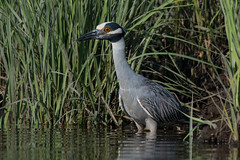 Yellow-Crowned Night Heron (Jesse_in_CT) Tags: yellowcrownednightheron nikon200500mm