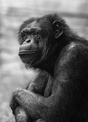 Chimpanzee (patrickmai875) Tags: sw bw black white schwarz weis chimpanzee schimpanse animal tier portrait canon 5d mark iv 70200 art kunst ngc