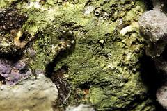 Blenny_Bari Reef_Bonaire_June 2017 (R13X) Tags: bonaire underwaterphotography underwatermacrophotography scubadiving diving denlaman dutchcaribbean dutchislands shorediving nikon nikon105mm nikon60mm d7200 blenny barireef somethingspecial saltpier torisreef
