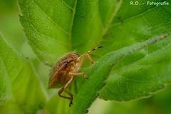 Makro / Macro (R.O. - Fotografie) Tags: makro macro wanze insekt insect natur nature rofotografie nieheim panasonic lumix dmcfz1000 dmc fz1000 fz 1000 bug