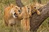 Lions of Maasai Kopjes 420 (Grete Howard) Tags: bestsafarioperator bestsafaricompany africa africansafari africanbush africananimals whichsafaricompany whichsafarioperator tanzania serengeti animals animalsofafrica animalphotos lions lioncubs maasaikopjes kopjes kopje