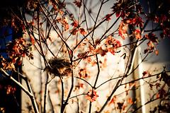 Autumn Nest (tibchris) Tags: autumn colors leaves nikon colours nest paloalto d700 tibchris arcticpuppy snapchris wwwsnapchriscom