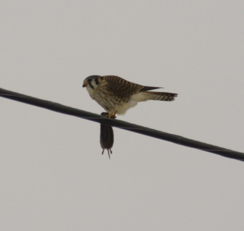 american kestrel with rodent_2