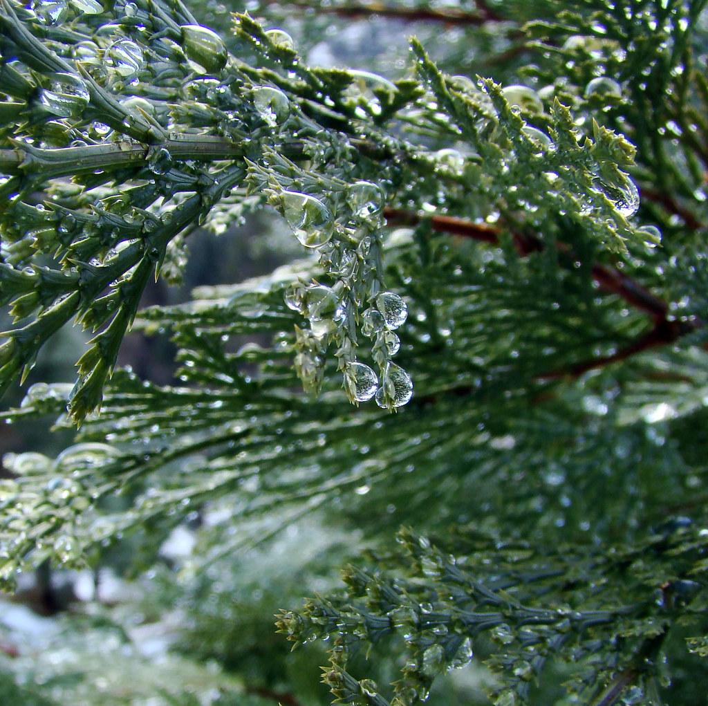 DSC03751 Cedar waterdrops 2
