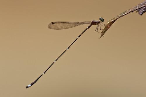 Damselfly - Drepanosticta hamadryas